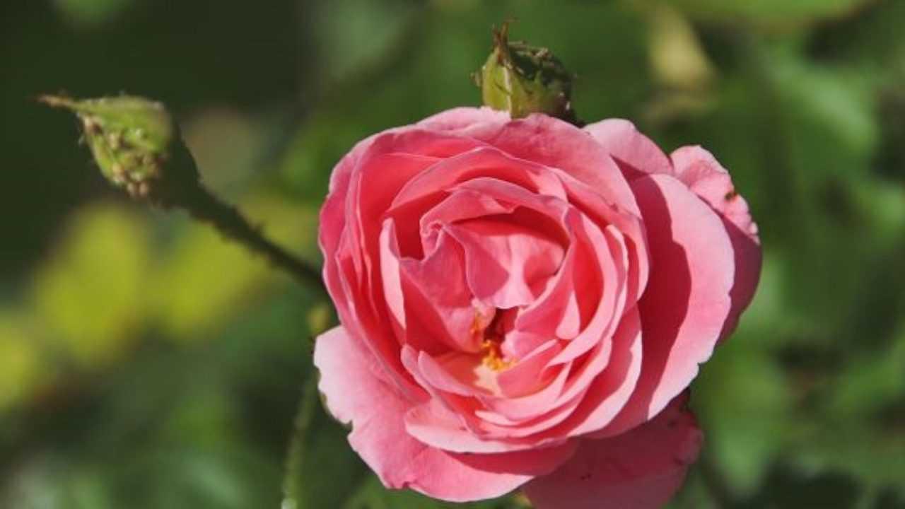 Combattere Afidi Delle Rose come eliminare i parassiti dalle rose - idee green