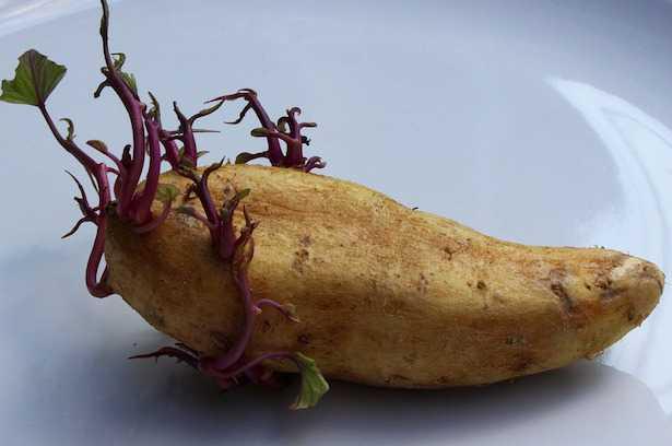 conservare patate germogli
