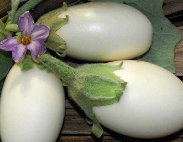 Come coltivare le melanzane - Idee Green