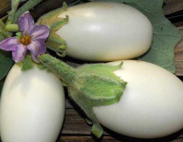 melanzana bianca coltivare