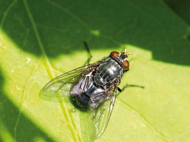 mosche rimedi naturali