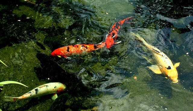 pesci giapponesi