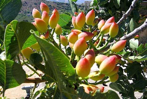 potare pistacchio