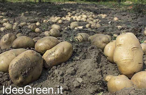 raccogliere le patate