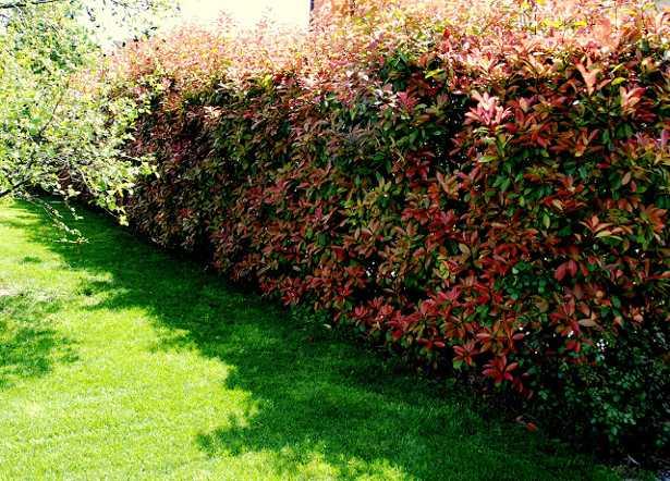 Come piantare una siepe idee green for Alloro siepe