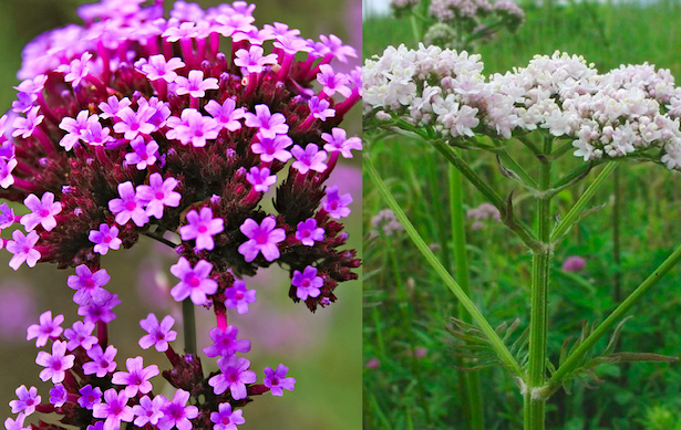 verbena officinale