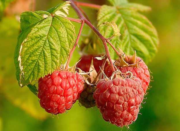 Coltivare frutti rossi