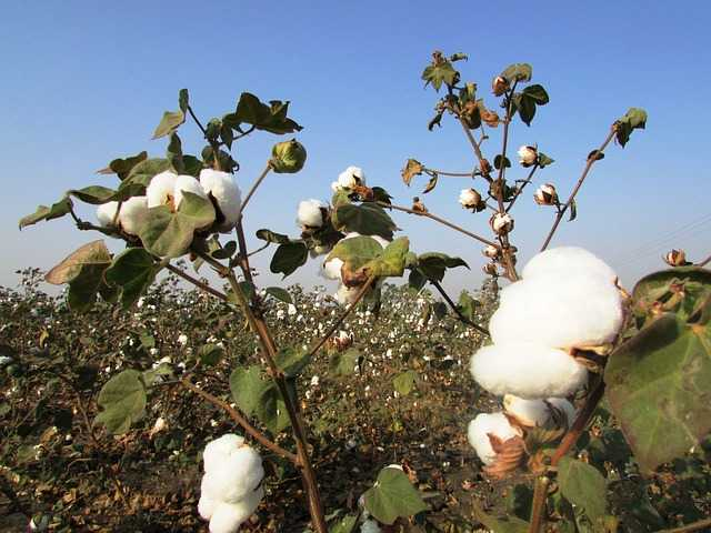 Coltivare il cotone