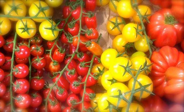 Coltivare il pomodoro giallo