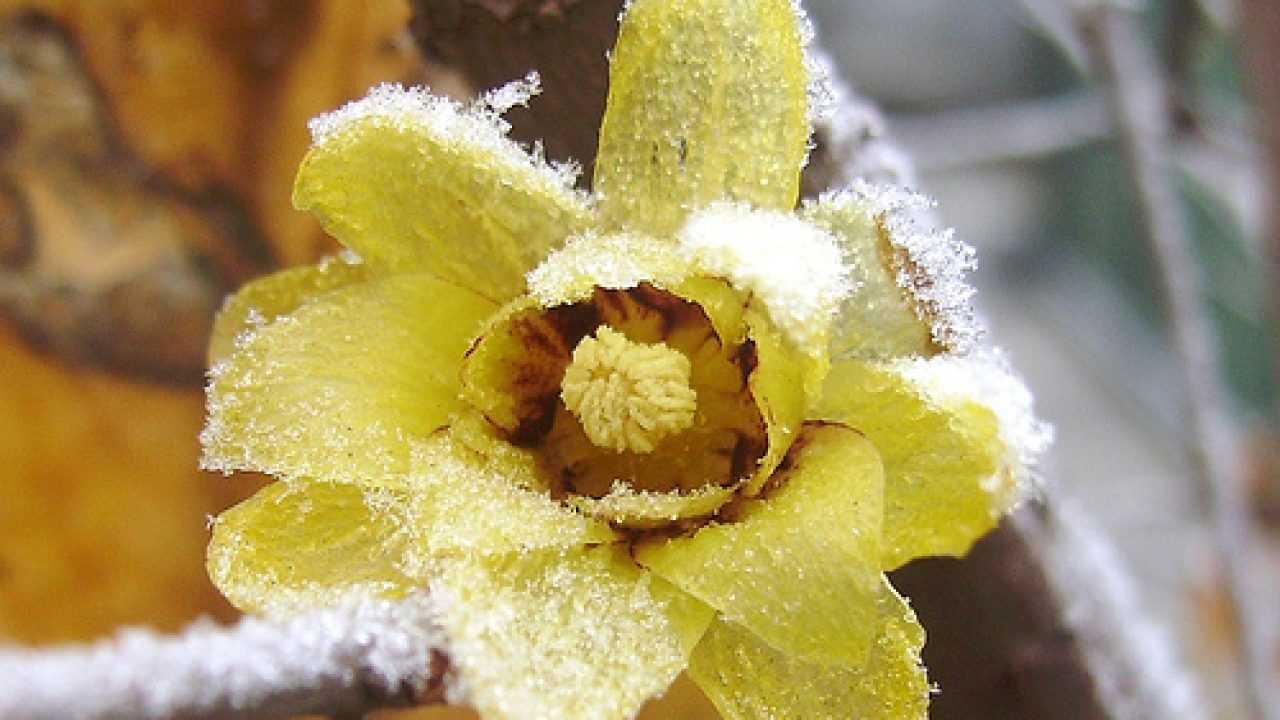 Calicanto Fiore D Inverno calicanto, prospera in estate e fiorisce in inverno