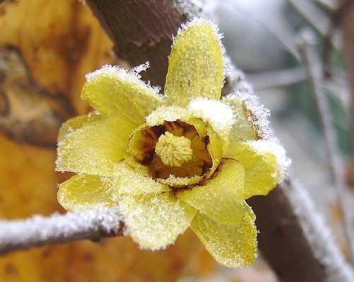 Calicanto prospera in estate e fiorisce in inverno - Fiori gialli profumati ...