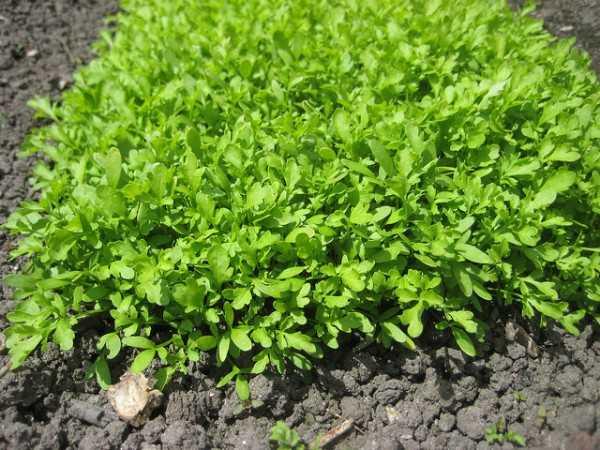 come coltivare il crescione