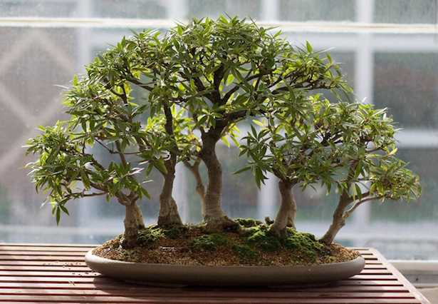 Come prendersi cura di un bonsai idee green for Bonsai cura