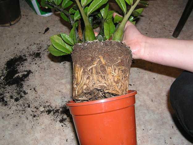 come rinvasare piante