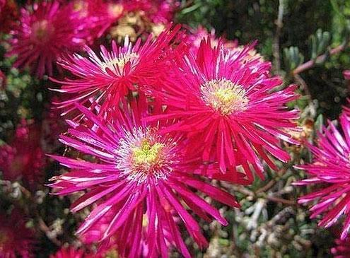 lampranthus maximiliana