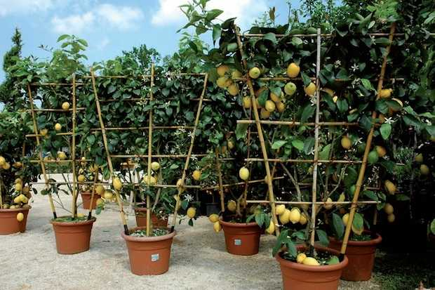 potatura agrumi in vaso