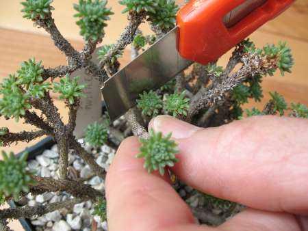 propagazione succulente