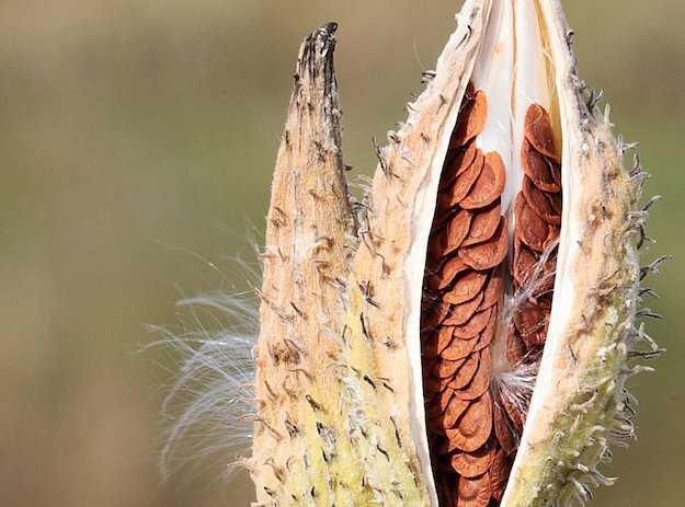 raccoglitore di semi di piante spontanee