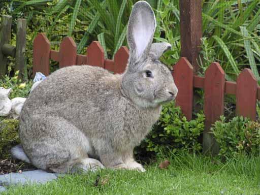 razze di conigli giganti