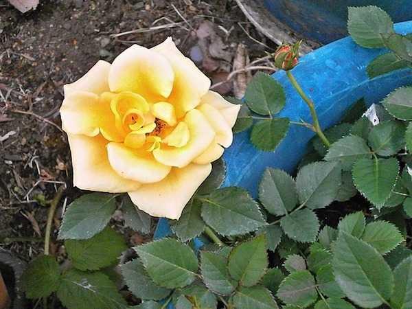 Coltivare Rose in vaso