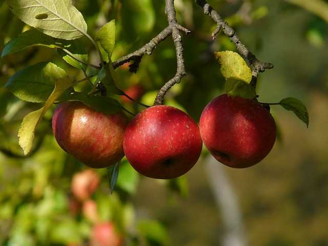 Come coltivare il melo