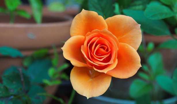 come coltivare rose