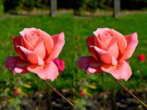 curare rose