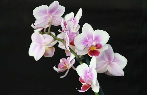 far fiorire orchidea