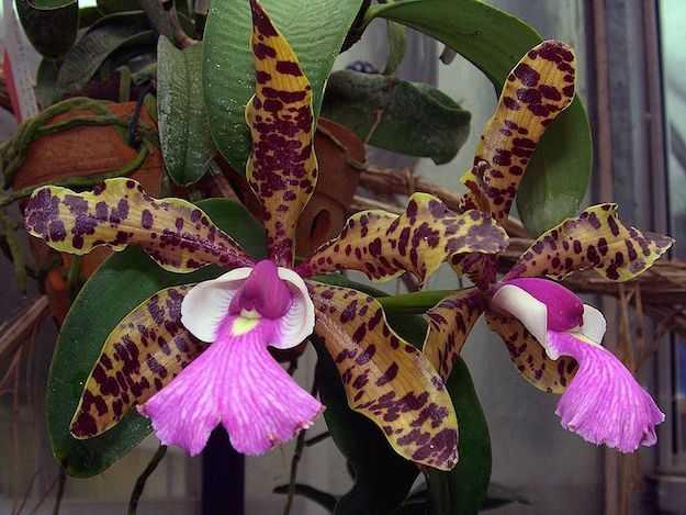 Orchidea fioritura e cure idee green for Orchidea fioritura