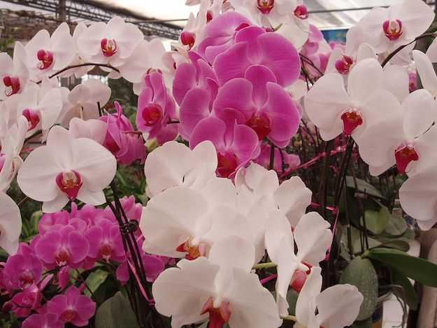 Come Coltivare Le Orchidee In Casa : Come curare l orchidea phalaenopsis idee green
