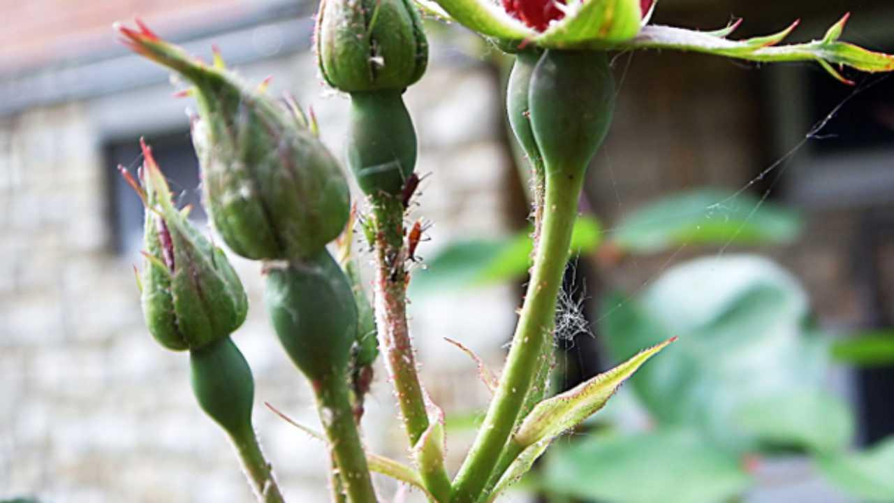 Combattere Afidi Delle Rose parassiti delle rose: rimedi naturali - idee green