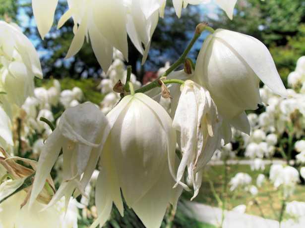 Piante da giardino sempreverdi idee green for Piante verdi perenni da giardino