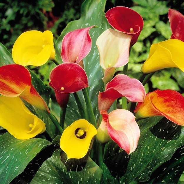 bulbose a fioritura estiva