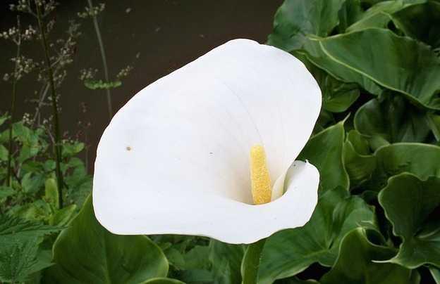 Coltivare calle in vaso o in giardino idee green for Calla pianta