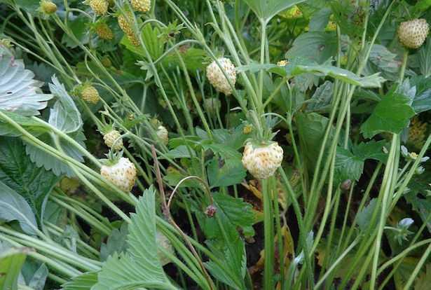 coltivare fragola ananassa fragola bianca