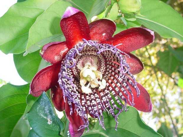 come coltivare la passiflora