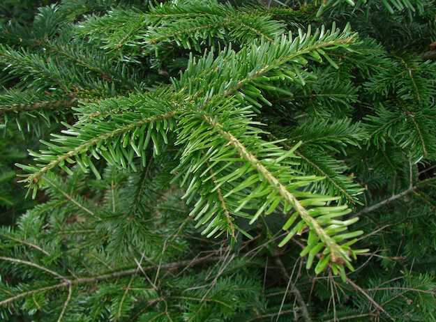 coltivare albero di natale