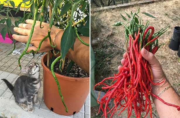 coltivare peperoncino in vaso