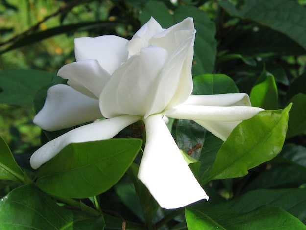 curare gardenia