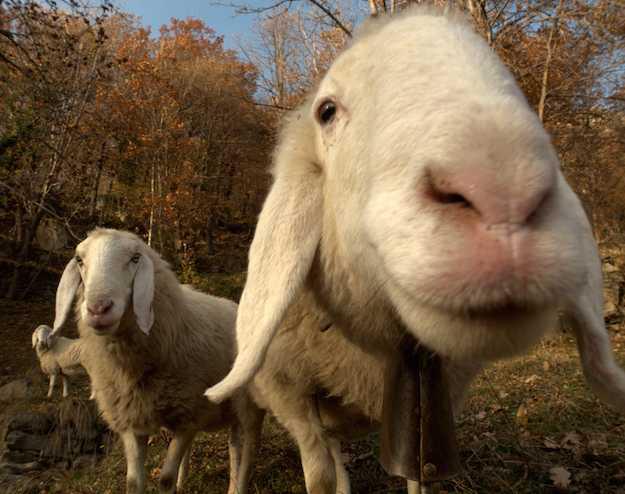 malattie delle pecore