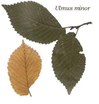 olmo foglie