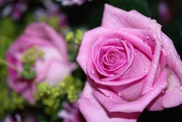 Potatura della rosa, tutte le indicazioni - Idee Green