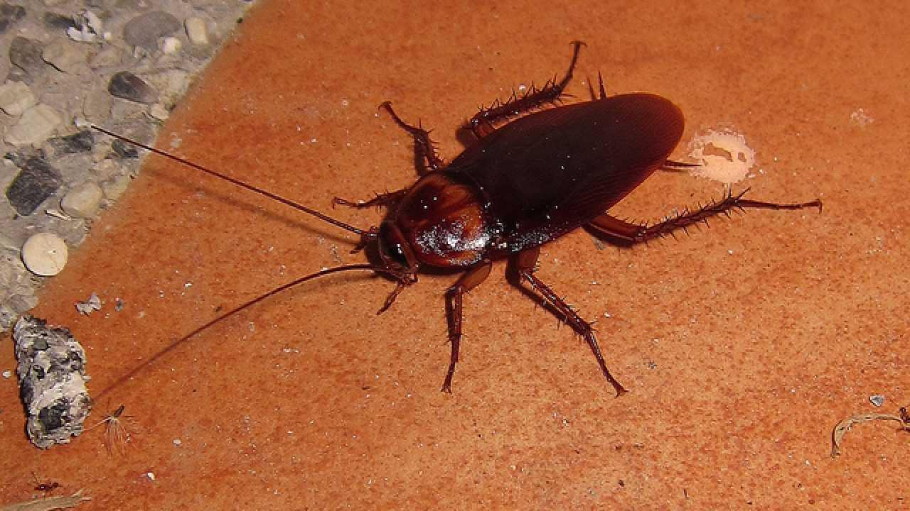 Piccoli Scarafaggi In Cucina rimedi contro gli scarafaggi - idee green
