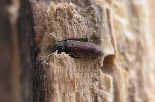 Termiti del legno