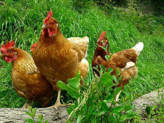 allevare galline ovaiole all'aperto