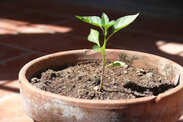 come coltivare il peperoncino in vaso idee green