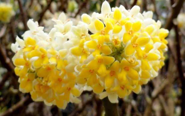 Fioriture invernali da esterno idee green - Piante fiorite invernali da esterno ...