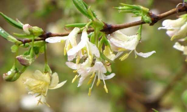 fioriture invernali profumate