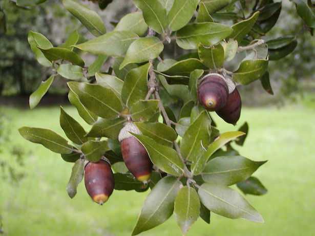 ghiande del leccio coltivare quercia leccio