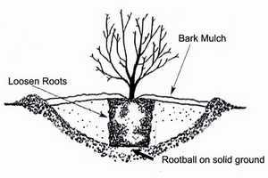 piantare ortensia